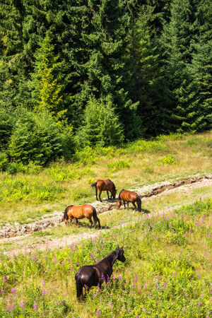 Horses grazing purple flowers near the road in a clearing at the edge of the forest. view from abow
