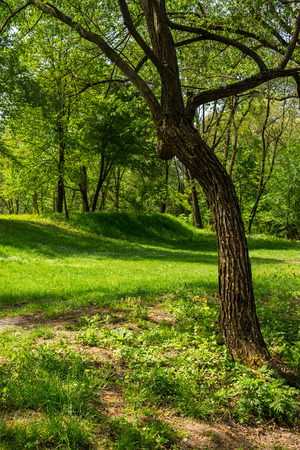 forest glade with grass in the cool shade of the trees a hot summer day Stock Photo