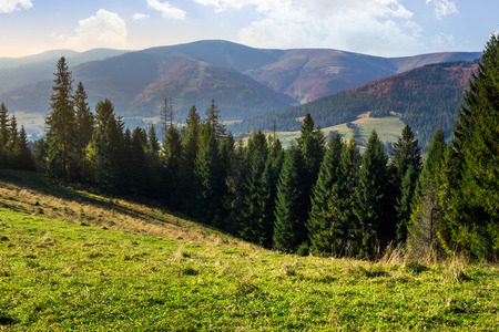 conifer: hillside of mountain range with coniferous forest and meadow