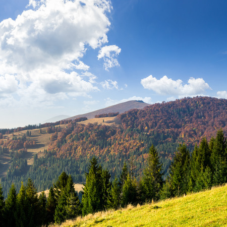coniferous green forest on hillside meadow in front of a mountain