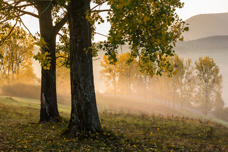 yellow autumn trees in fog on hill side in morning rays of rising sun