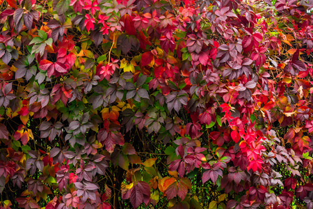 climbing plant with red leaves on a wall