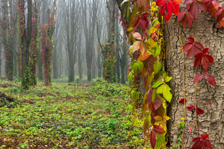 red foliage of ivy on trees in foggy forest