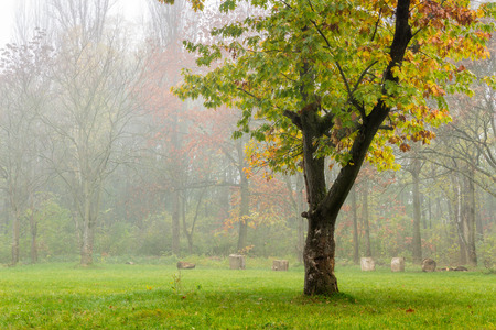 lonely oak on clearing in front of forest and stumps in autumn fog