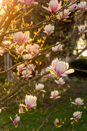 magnolia flowers close up on a blur green grass and leaves backlit background at sunset Stock Photo