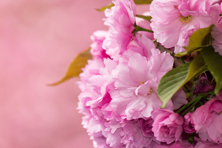 pink flowers on the branches of Japanese sakura blossomed above fresh green grass in spring on blur background Stock Photo