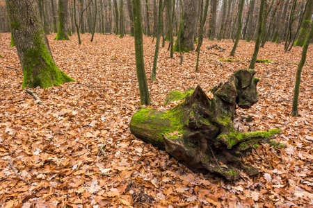autumn forest with stump with moss on red oak foliage on the ground