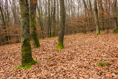 autumn forest with red oak foliage on the ground and trees with moss