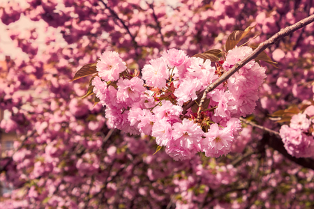 marsala toned delicate pink flowers blossomed Japanese cherry trees