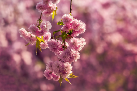 marsala toned pink flowers on the branches of Japanese sakura blossomed above fresh green grass in spring Stock Photo