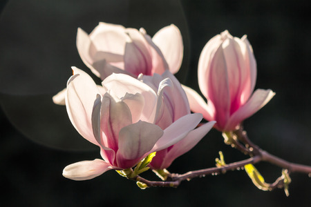 magnolia flowers close up with shallow depth of field on a blurry dark background of a garden