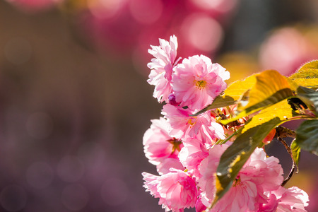 closeup of pink flowers with shallow depth of field on the branches of Japanese sakura  bloomed  in spring garden blurred background
