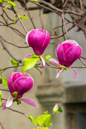 barnch with magnolia flowers close up on a blurry wall background