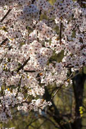 branch with flowers of apple tree on a blurred background of garden