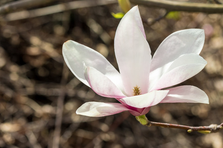 magnolia flower close up on a blur background of leaves
