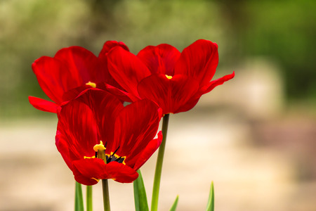 red tulip on blurred background of colored bokeh