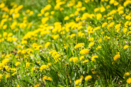 field with yellow dandelions closeup shoot with shallow depth of field