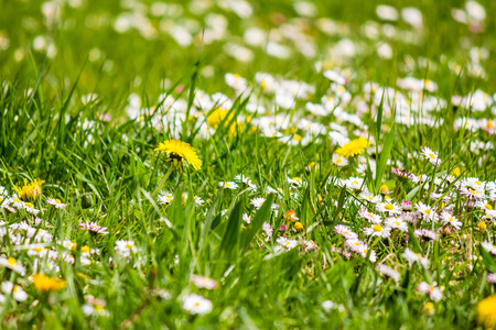 field with yellow dandelions and little white chamomile closeup shoot with shallow depth of field