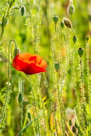 big red poppy flower in the green wheat field in summer close up Stock Photo