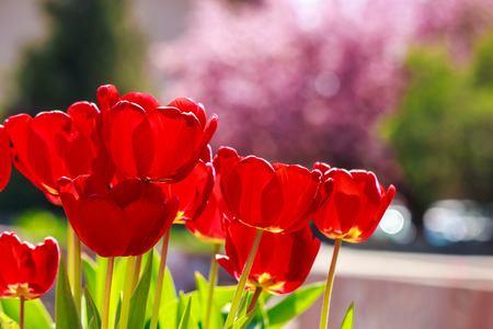 red tulip on blurred background of sakura garden color bokeh