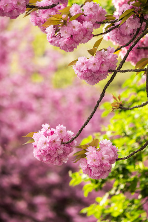 pink flowers on the branches of Japanese sakura blossomed above fresh green leaves in garden