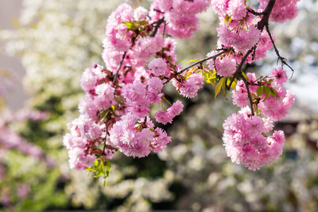 pink flowers on the branches of Japanese sakura blossomed  in spring garden