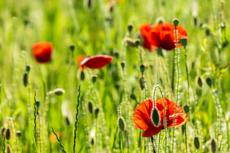few big red poppy flowers in the green wheat field in summer