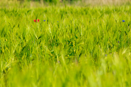 one big red poppy flower in the green wheat field with shallow depth of field Stock Photo