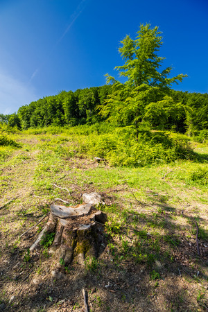 stump among the grass on logging place near forest in summer. shot with ultra wide angle lense