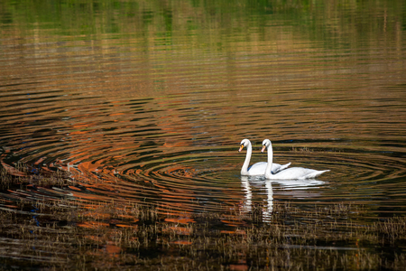 swimming swan: Two swans glide across lake, with autumn forest reflection, at sunset Stock Photo