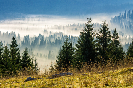 fir trees on a meadow down the will  to coniferous forest in foggy mountains of Romania