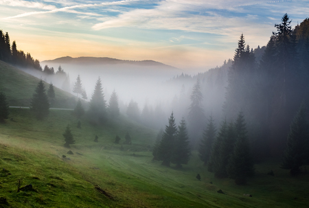 ホットの日の出山の針葉樹林で寒い朝霧