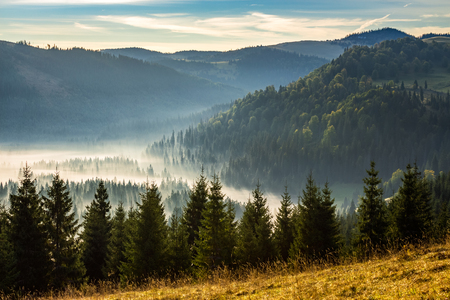 fir trees on a meadow down the hill  to coniferous forest in foggy mountains of Romania in morning light
