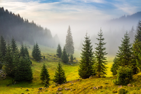 green forest: fir trees on meadow between hillsides with conifer forest in fog under the blue sky before sunrise