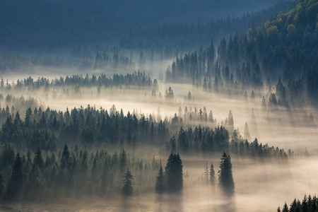 fir trees on a meadow down the will  to coniferous forest in foggy mountains Stock Photo