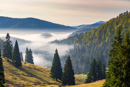 hillside with coniferous forest among the fog on a meadow in mountains of Romania in morning light 免版税图像