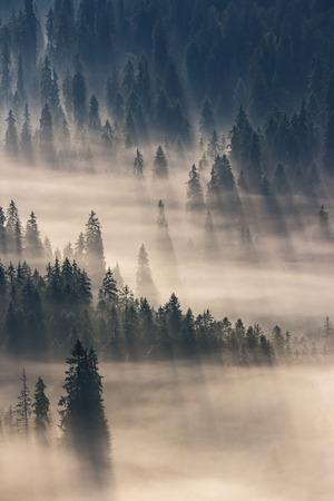 Sapins sur une prairie en bas de la volonté de la forêt de conifères dans les montagnes brumeuses Banque d'images - 49134770