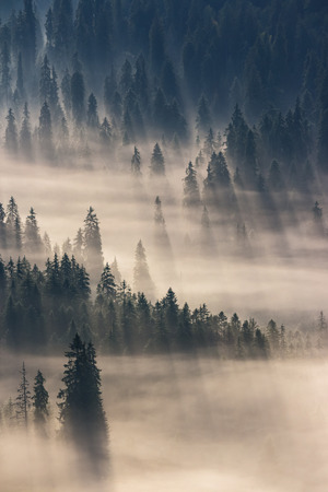 fir trees on a meadow down the will  to coniferous forest in foggy mountains Standard-Bild