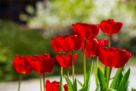 red tulips on blurred garden background of colored bokeh
