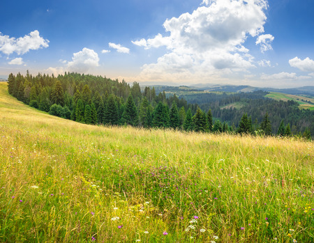 large meadow with mountain herbs and a conifer forest in front of mountainous massif away in the background Stock Photo - 50571384