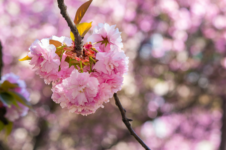 delicate pink flowers blossomed Japanese cherry trees in front of blurred background in spring garden Stock Photo