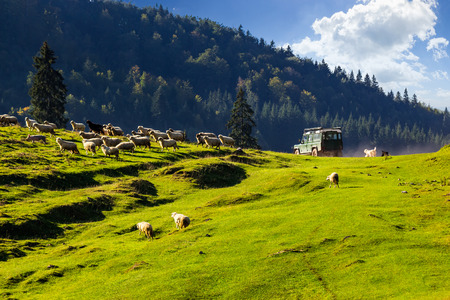green car passed by and frighten flock of sheep on the meadow near the fir forest in mountains of Romania