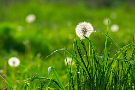 white dandelion on green grass blurry background in park Stock Photo