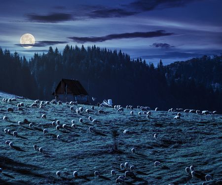 rebaño de ovejas en el prado en la ladera cerca del bosque de abetos en las montañas de Rumania en la noche en la luz de luna llena Foto de archivo