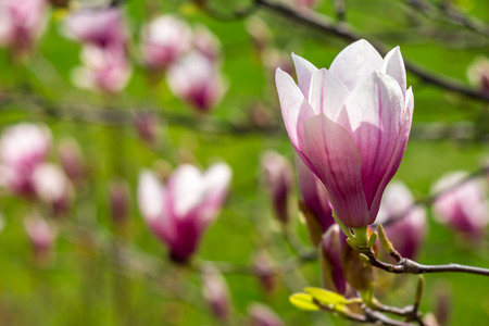 three magnolia flowers close up on a green grass background Stock Photo