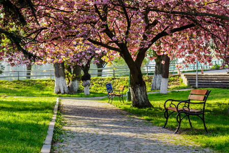 bench on the pavement in the park on a background of grass and sakura tree