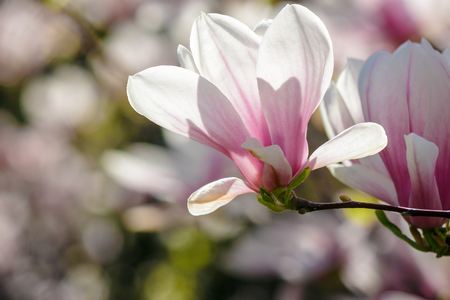magnolia flowers close up on a blur green grass and leaves background