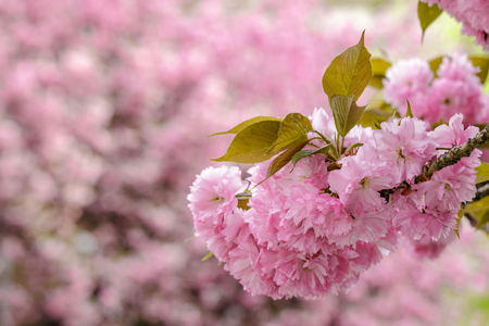 delicate pink flowers blossomed on Japanese cherry trees