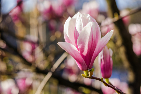 three magnolia flowers close up on a blurred background