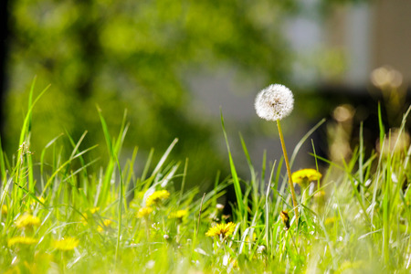 white dandelion yellow one on green grass blur background in park Stock Photo